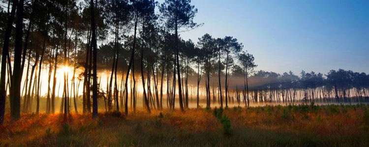 landes forest light